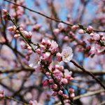 桜の木はむやみに触ってはダメ!花見の季節、桜ガイドライン